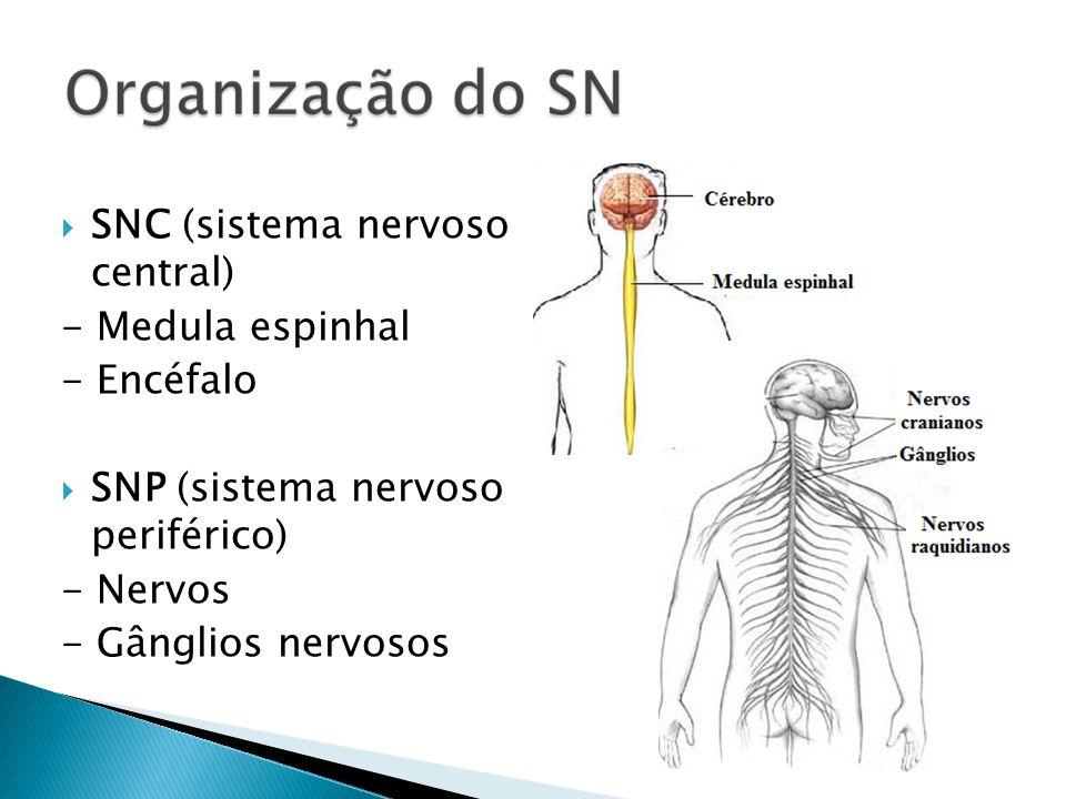 SNC (sistema nervoso central) - Medula espinhal - Encéfalo SNP (sistema nervoso periférico) - Nervos - Gânglios nervosos