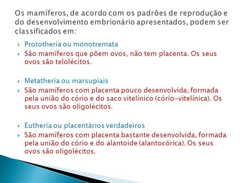 Prototheria ou monotremata São mamíferos que põem ovos, não tem placenta.