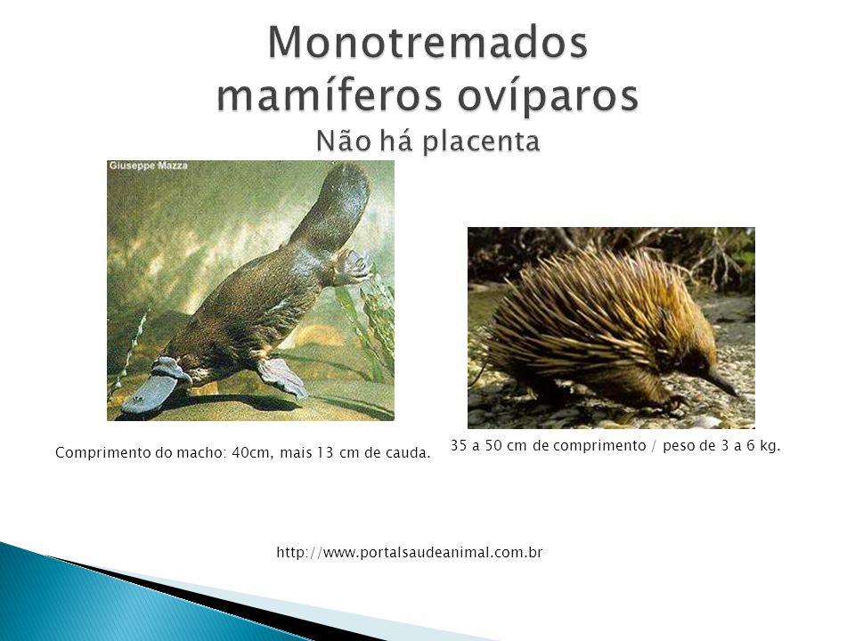 35 a 50 cm de comprimento / peso de 3 a 6 kg. http://www.portalsaudeanimal.com.br Comprimento do macho: 40cm, mais 13 cm de cauda.