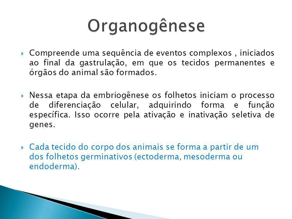 Compreende uma sequência de eventos complexos, iniciados ao final da gastrulação, em que os tecidos permanentes e órgãos do animal são formados. Nessa