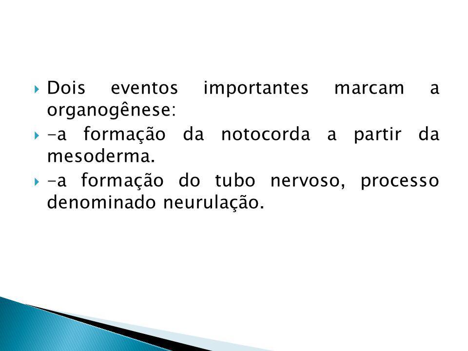 Dois eventos importantes marcam a organogênese: -a formação da notocorda a partir da mesoderma. -a formação do tubo nervoso, processo denominado neuru