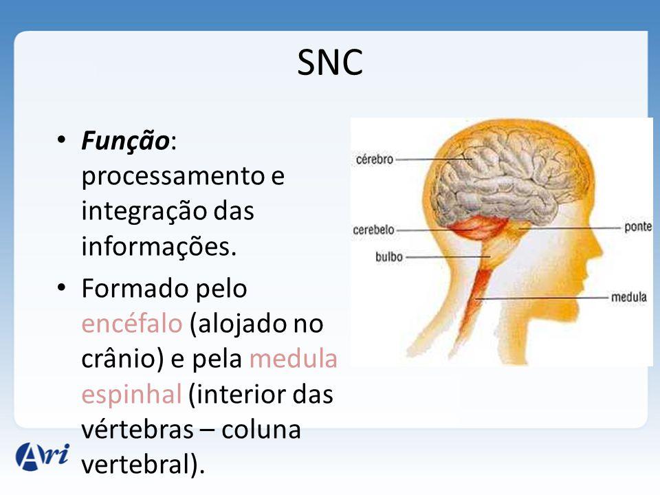 Divisão do sistema nervoso SNC Encéfalo Medula SNP Nervos Gânglios Periférico Autônomo Cérebro Cerebelo Mesencéfalo Ponte Bulbo