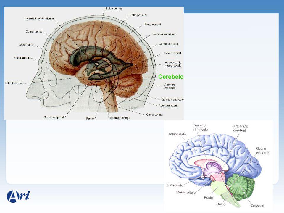 Cerebelo: manutenção do equilíbrio corporal e do tônus muscular. Bulbo: presença de centro nervosos relacionados com batimentos cardíacos, movimentos