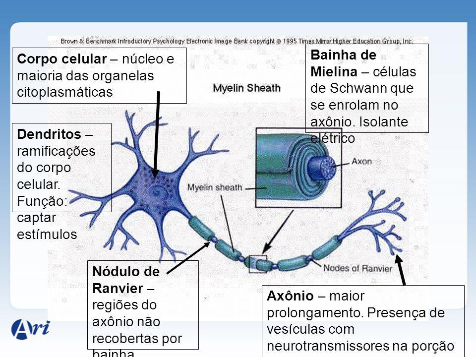 Corpo celular – núcleo e maioria das organelas citoplasmáticas Dendritos – ramificações do corpo celular.