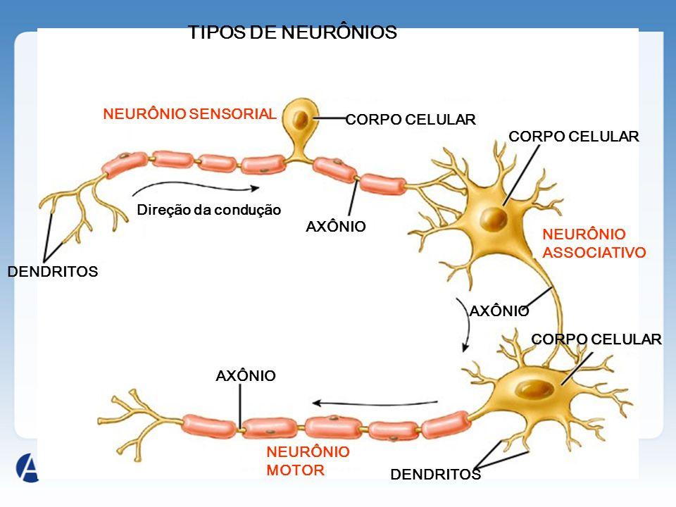 TIPOS DE NEURÔNIOS DENDRITOS CORPO CELULAR DENDRITOS Direção da condução AXÔNIO NEURÔNIO SENSORIAL NEURÔNIO ASSOCIATIVO NEURÔNIO MOTOR