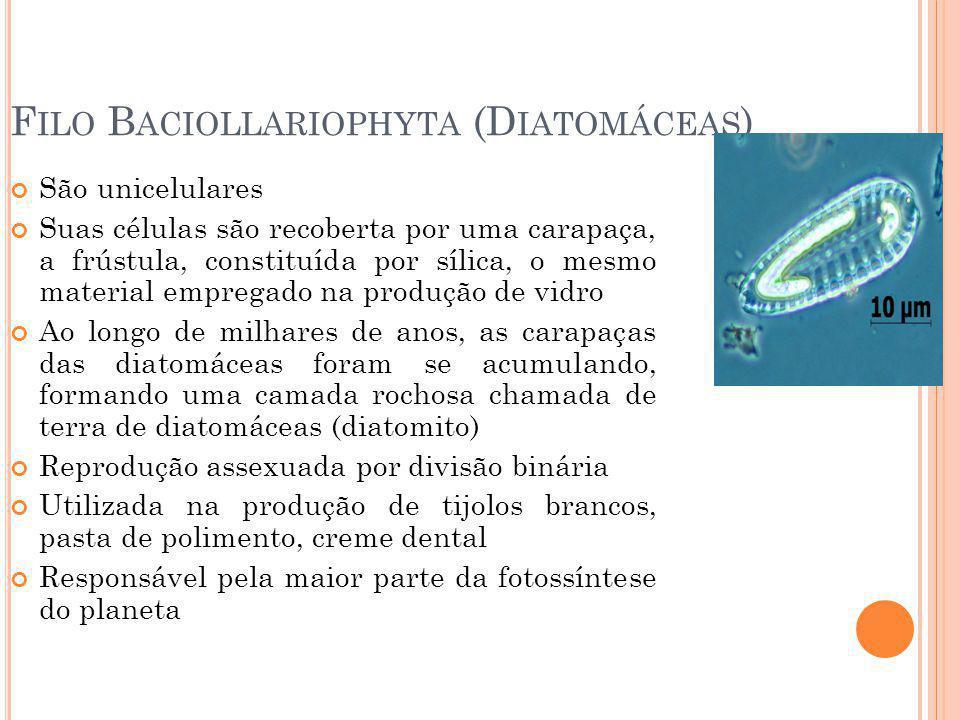 F ILO B ACIOLLARIOPHYTA (D IATOMÁCEAS ) São unicelulares Suas células são recoberta por uma carapaça, a frústula, constituída por sílica, o mesmo material empregado na produção de vidro Ao longo de milhares de anos, as carapaças das diatomáceas foram se acumulando, formando uma camada rochosa chamada de terra de diatomáceas (diatomito) Reprodução assexuada por divisão binária Utilizada na produção de tijolos brancos, pasta de polimento, creme dental Responsável pela maior parte da fotossíntese do planeta