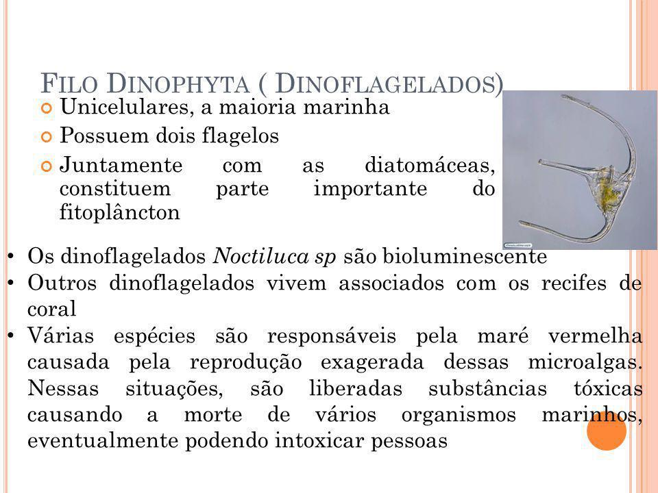 F ILO D INOPHYTA ( D INOFLAGELADOS ) Unicelulares, a maioria marinha Possuem dois flagelos Juntamente com as diatomáceas, constituem parte importante do fitoplâncton Os dinoflagelados Noctiluca sp são bioluminescente Outros dinoflagelados vivem associados com os recifes de coral Várias espécies são responsáveis pela maré vermelha causada pela reprodução exagerada dessas microalgas.