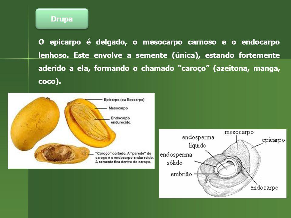 Drupa O epicarpo é delgado, o mesocarpo carnoso e o endocarpo lenhoso.