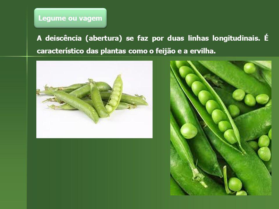 Legume ou vagem A deiscência (abertura) se faz por duas linhas longitudinais. É característico das plantas como o feijão e a ervilha.