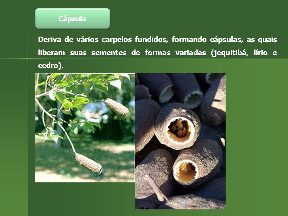 Cápsula Deriva de vários carpelos fundidos, formando cápsulas, as quais liberam suas sementes de formas variadas (jequitibá, lírio e cedro).