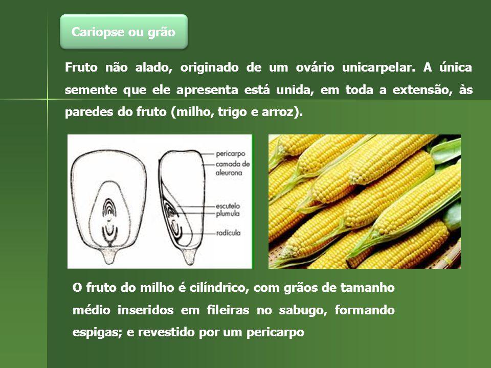 Cariopse ou grão Fruto não alado, originado de um ovário unicarpelar. A única semente que ele apresenta está unida, em toda a extensão, às paredes do