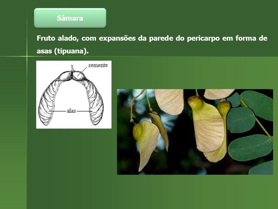 Sâmara Fruto alado, com expansões da parede do pericarpo em forma de asas (tipuana).