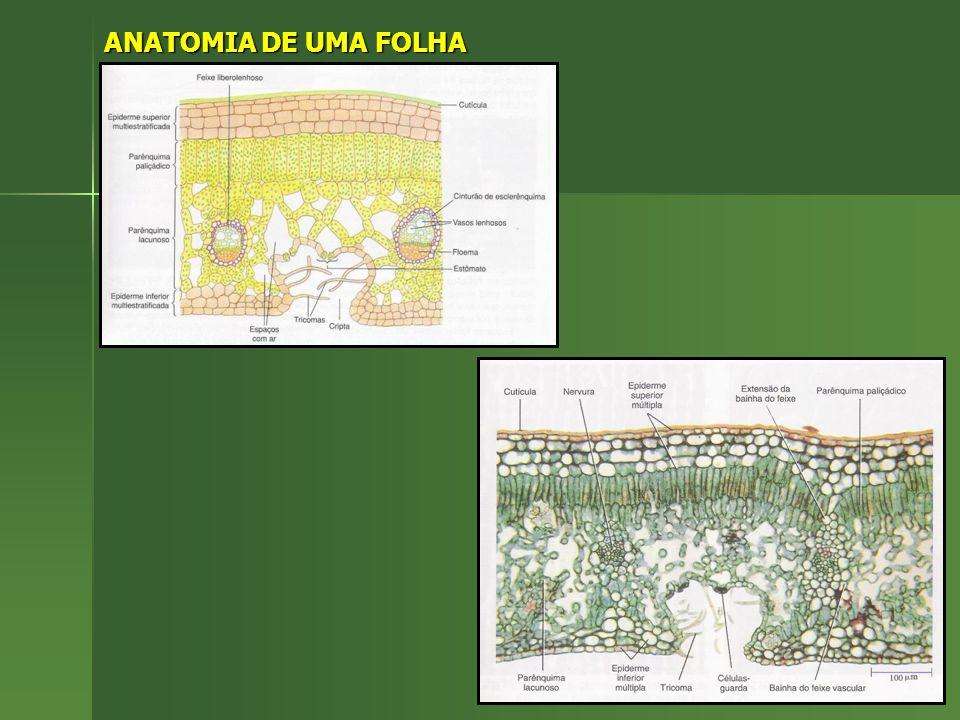 ANATOMIA DE UMA FOLHA