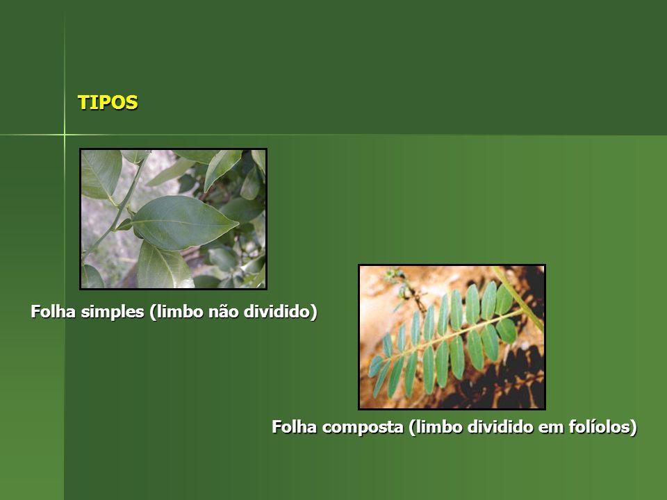 TIPOS Folha simples (limbo não dividido) Folha composta (limbo dividido em folíolos)