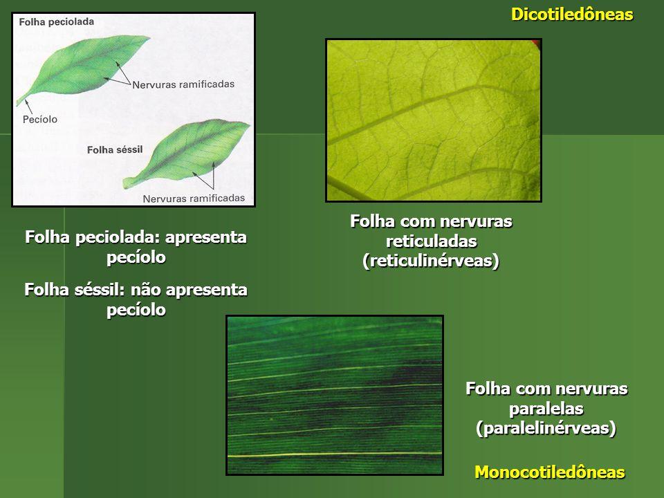 Folha peciolada: apresenta pecíolo Folha séssil: não apresenta pecíolo Folha com nervuras reticuladas (reticulinérveas) Dicotiledôneas Folha com nervuras paralelas (paralelinérveas) Monocotiledôneas