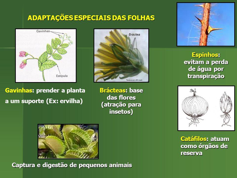 ADAPTAÇÕES ESPECIAIS DAS FOLHAS Gavinhas: prender a planta a um suporte (Ex: ervilha) Brácteas: base das flores (atração para insetos) Espinhos: evita