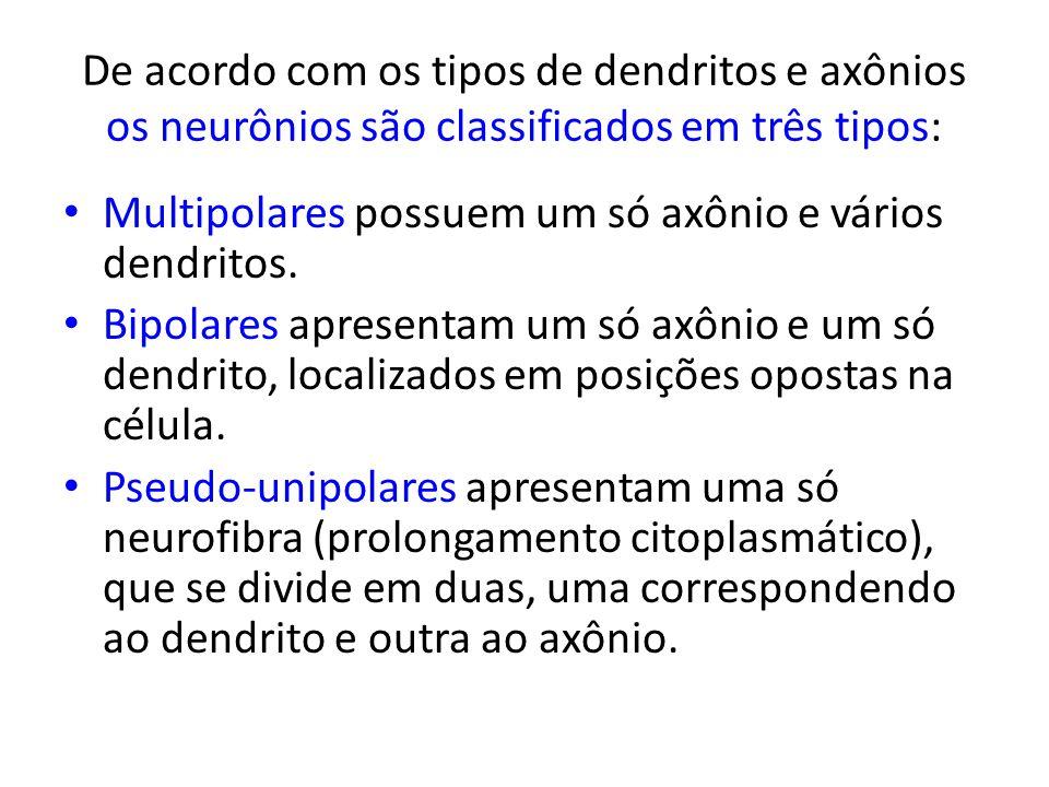 De acordo com os tipos de dendritos e axônios os neurônios são classificados em três tipos: Multipolares possuem um só axônio e vários dendritos. Bipo