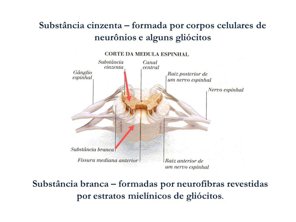 Substância cinzenta – formada por corpos celulares de neurônios e alguns gliócitos Substância branca – formadas por neurofibras revestidas por estrato