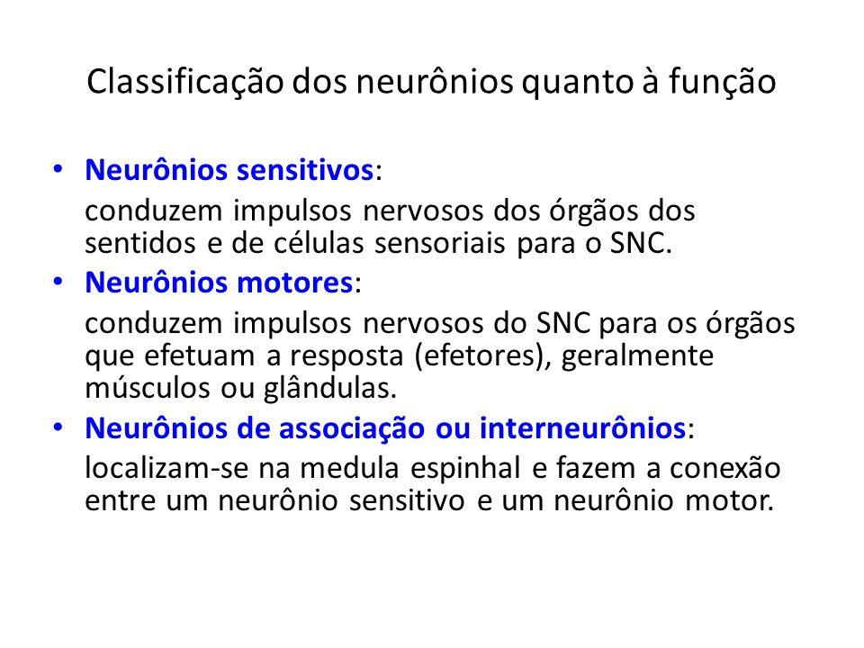 Classificação dos neurônios quanto à função Neurônios sensitivos: conduzem impulsos nervosos dos órgãos dos sentidos e de células sensoriais para o SN