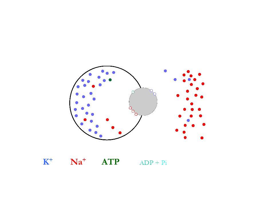 K + Na + ATP ADP + Pi