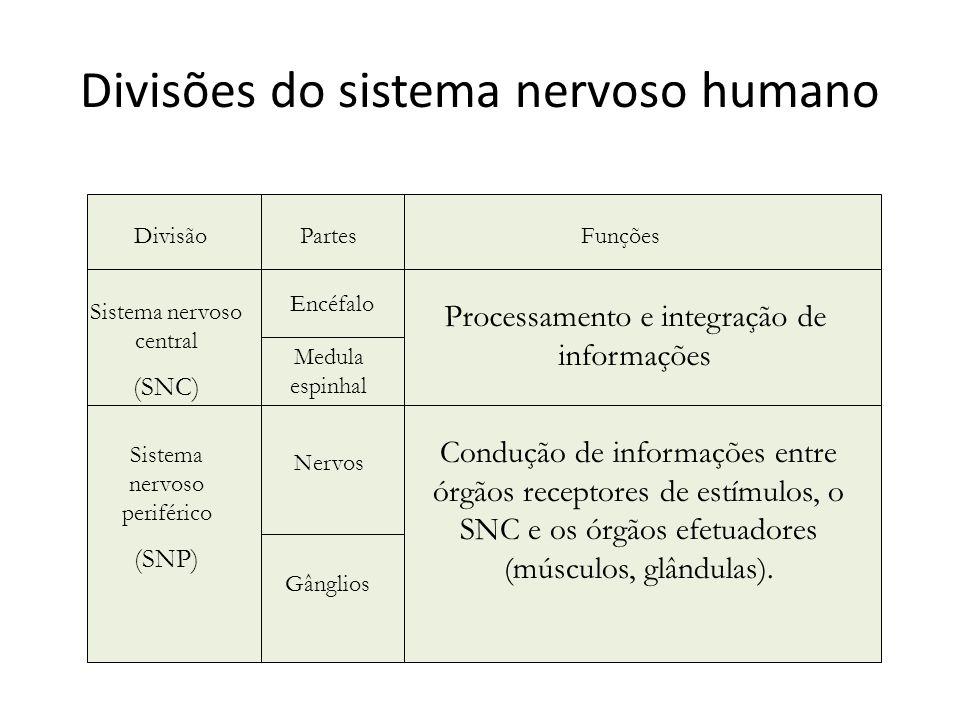 Divisões do sistema nervoso humano Encéfalo Medula espinhal Sistema nervoso central (SNC) Sistema nervoso periférico (SNP) Nervos Gânglios DivisãoPart