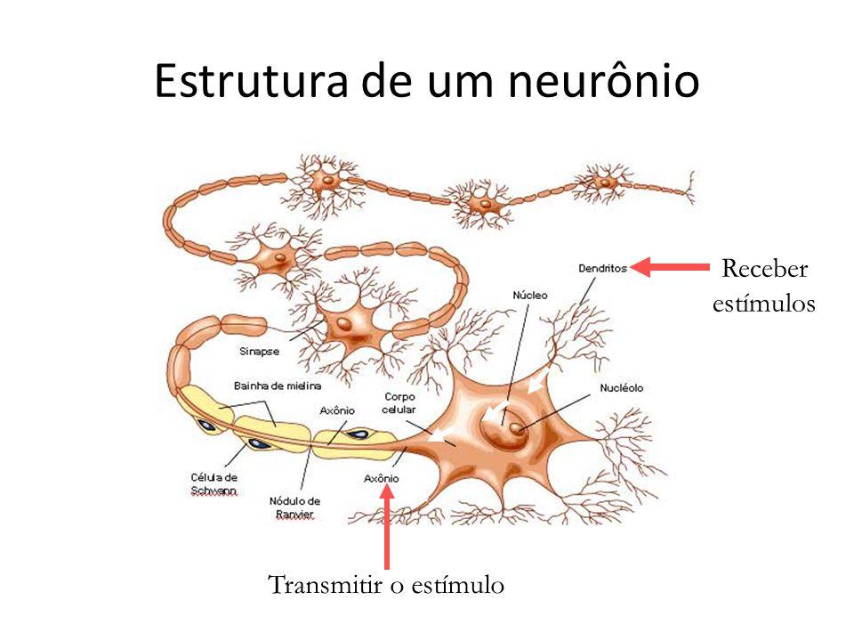 Estrutura de um neurônio Receber estímulos Transmitir o estímulo