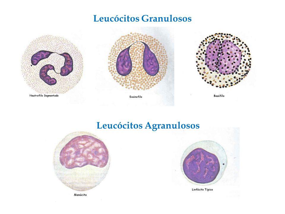 Leucócitos Granulosos Leucócitos Agranulosos