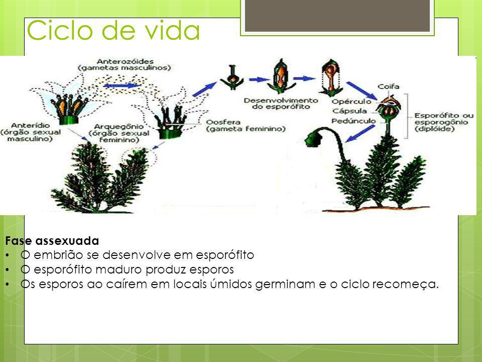 Ciclo de vida Fase assexuada O embrião se desenvolve em esporófito O esporófito maduro produz esporos Os esporos ao caírem em locais úmidos germinam e o ciclo recomeça.