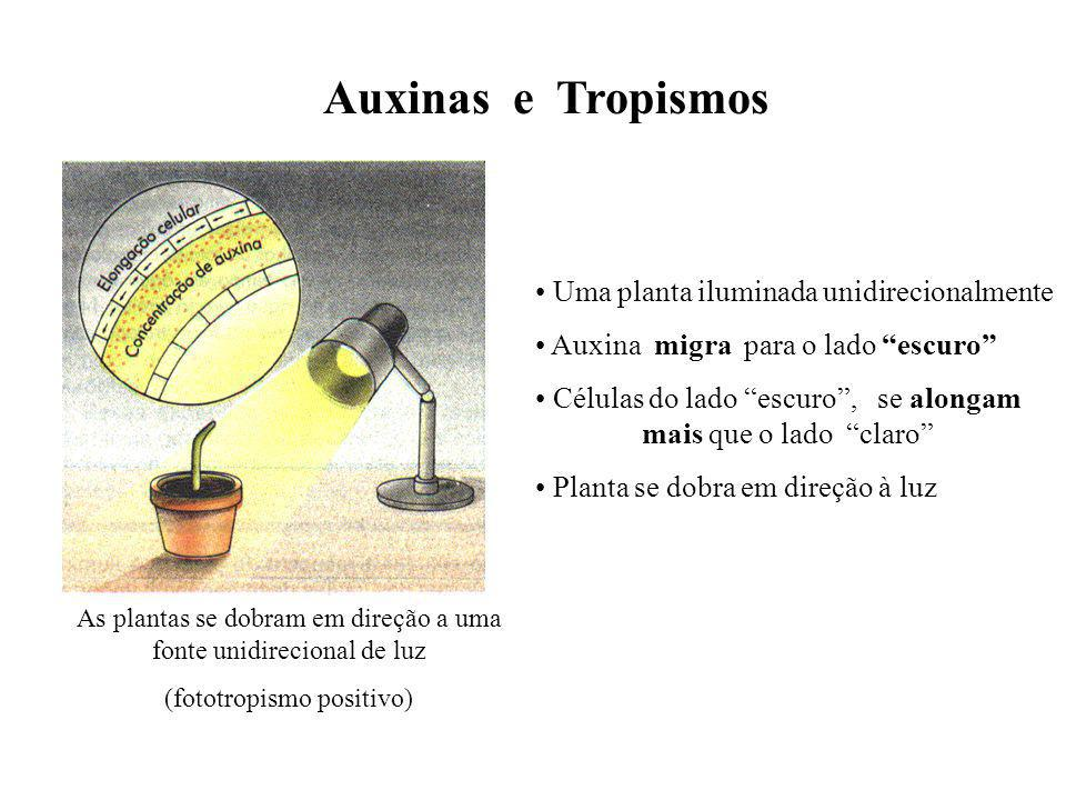 Auxinas e Tropismos As plantas se dobram em direção a uma fonte unidirecional de luz (fototropismo positivo) Uma planta iluminada unidirecionalmente A