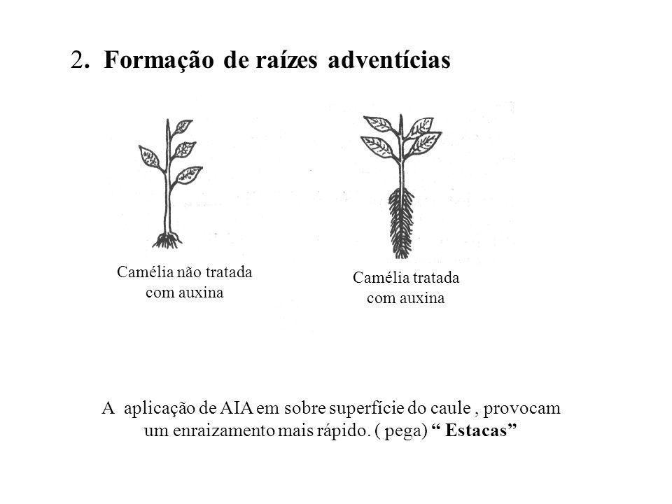 2. Formação de raízes adventícias A aplicação de AIA em sobre superfície do caule, provocam um enraizamento mais rápido. ( pega) Estacas Camélia não t