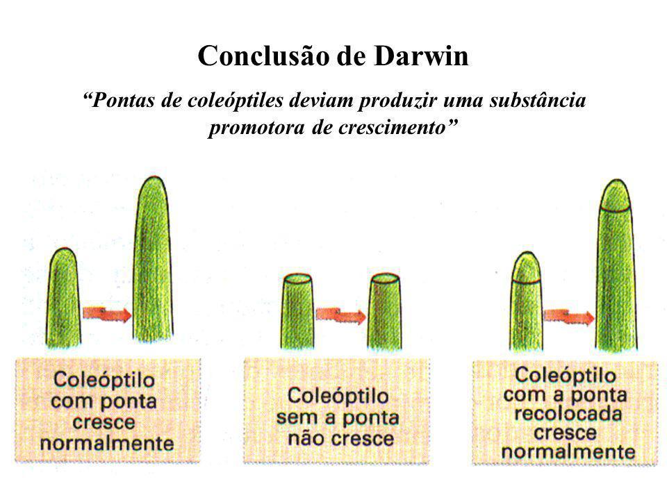 Ácido Abscísico (ABA) Inibe a germinação das sementes Atua no fechamento dos estômatos (quantidade de K+) Suposta e duvidosa ação no processo de queda de folhas
