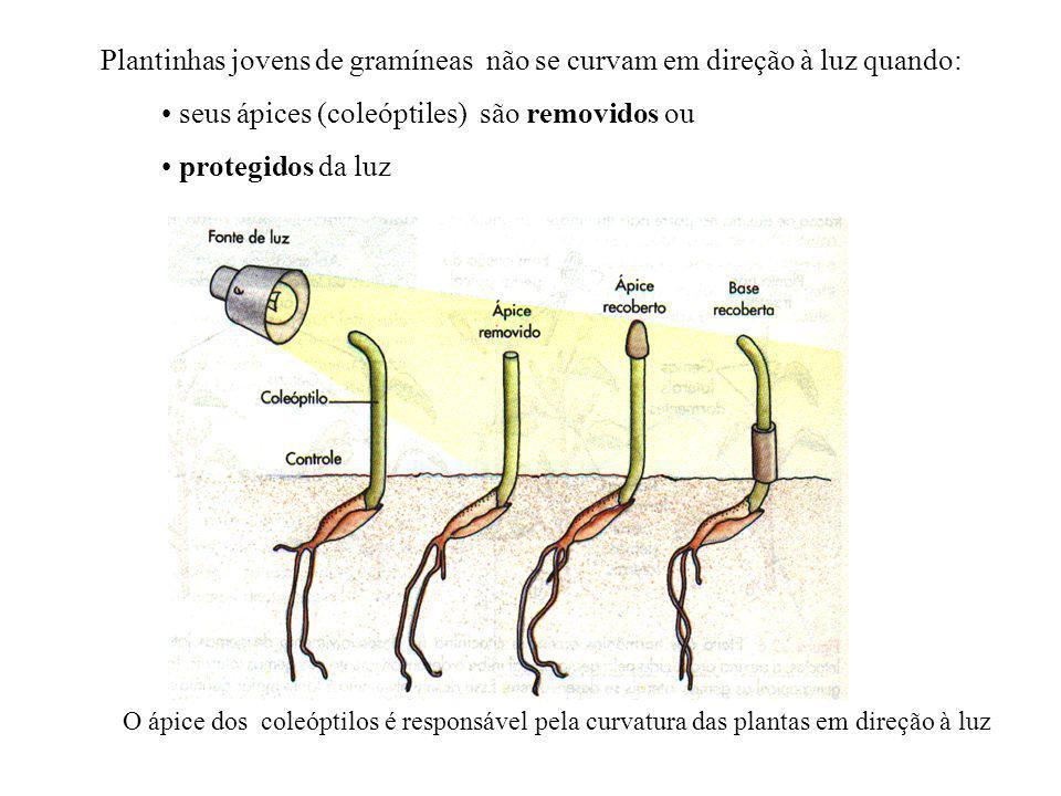 Posteriormente surge o trabalho de Went (1928 ), notando que alguma coisa era transferido do ápice do coleoptile para a base (onde ocorre a elongação) O primeiro hormônio vegetal descoberto é o AIA (Ácido Indol Acético) Experimentos de Went