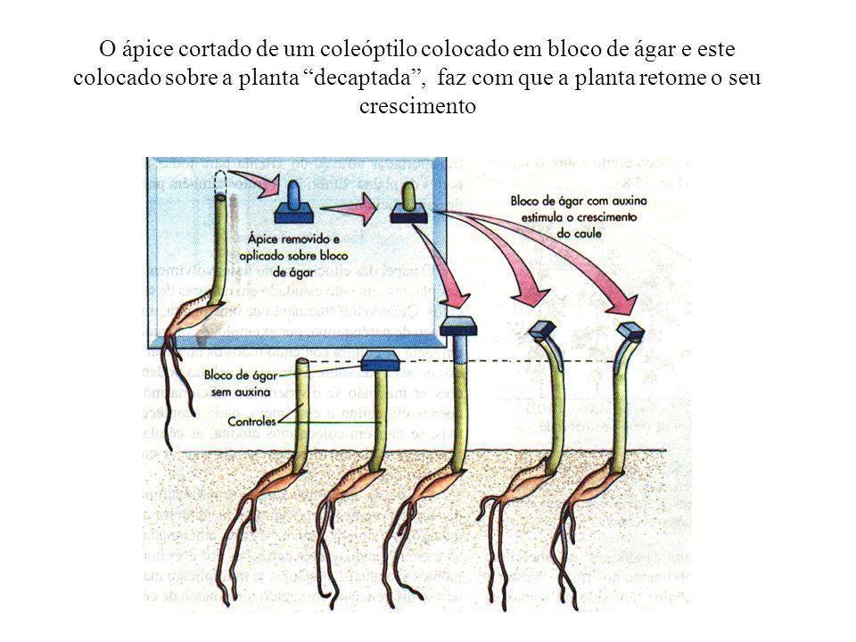 Auxinas A principal auxina encontrada nas plantas é o ácido indolacético conhecido como AIA.