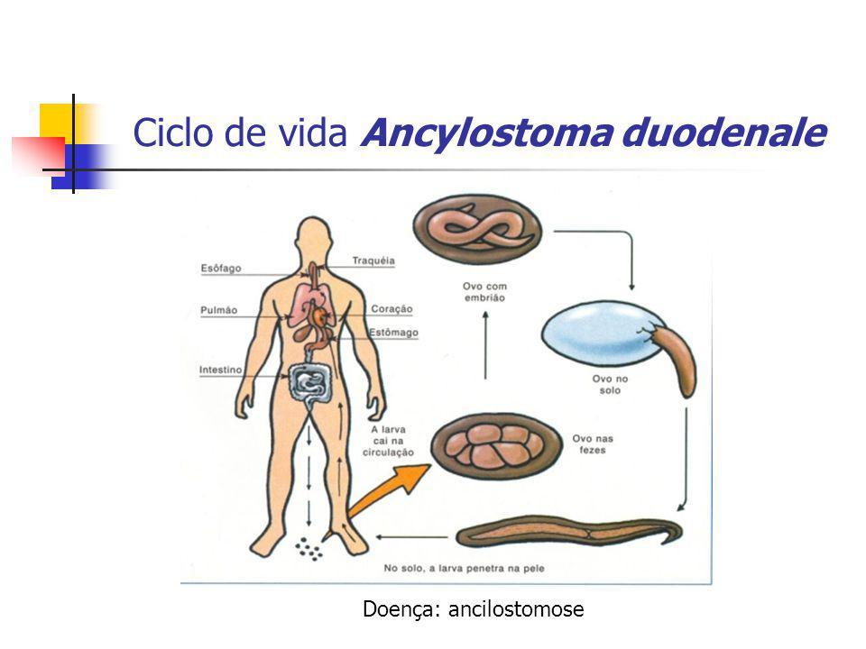 Ciclo de vida Ancylostoma duodenale Doença: ancilostomose