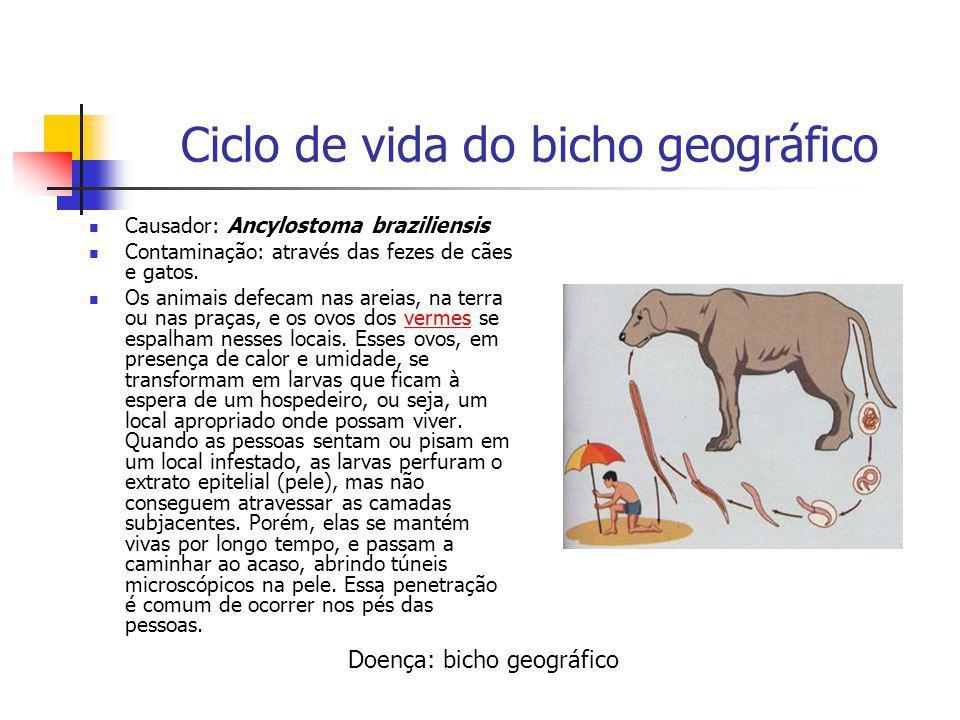 Ciclo de vida do bicho geográfico Causador: Ancylostoma braziliensis Contaminação: através das fezes de cães e gatos. Os animais defecam nas areias, n