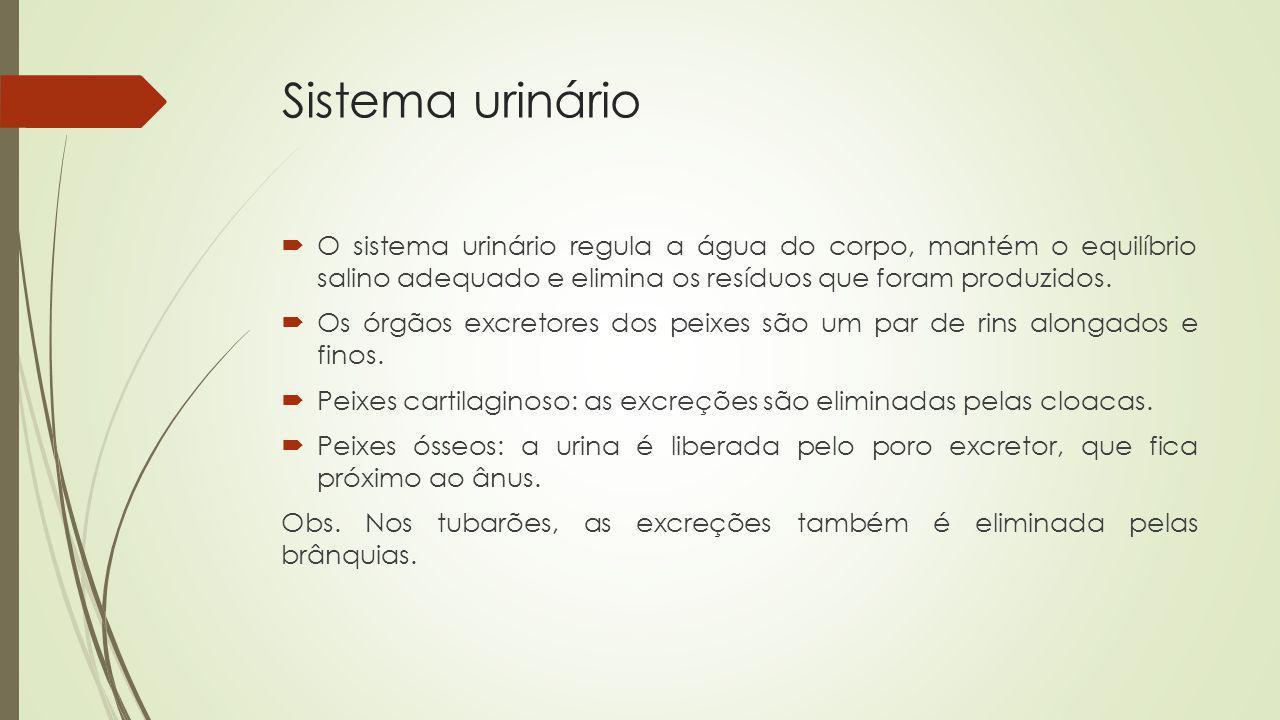 Sistema urinário O sistema urinário regula a água do corpo, mantém o equilíbrio salino adequado e elimina os resíduos que foram produzidos. Os órgãos