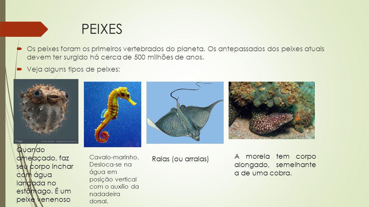 Reprodução Condrictes Fecundação interna, possui órgão copulador compostos por duas estruturas chamadas claspers.