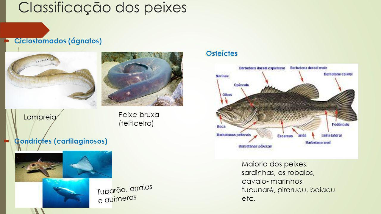 Classificação dos peixes Ciclostomados (ágnatos) Osteíctes Condrictes (cartilaginosos) Lampreia Peixe-bruxa (feiticeira) Tubarão, arraias e quimeras M