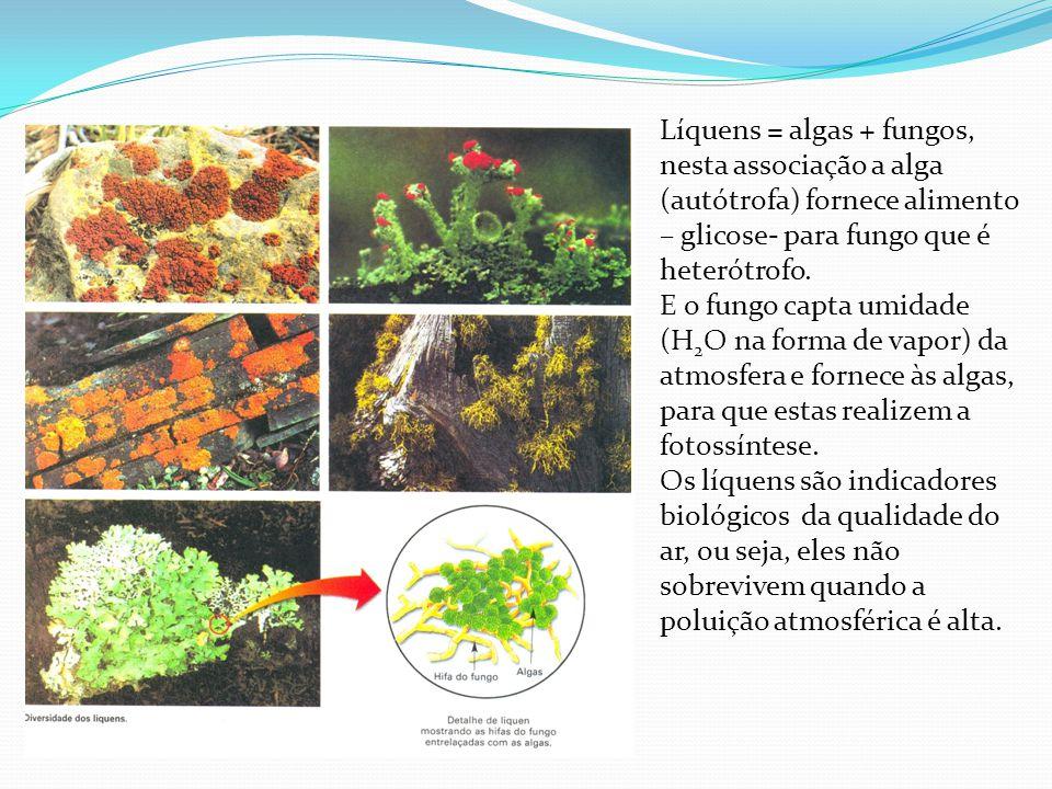 Líquens = algas + fungos, nesta associação a alga (autótrofa) fornece alimento – glicose- para fungo que é heterótrofo. E o fungo capta umidade (H 2 O