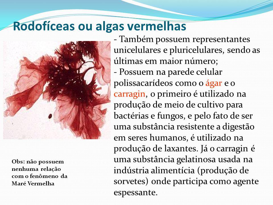 Rodofíceas ou algas vermelhas - Também possuem representantes unicelulares e pluricelulares, sendo as últimas em maior número; - Possuem na parede celular polissacarídeos como o ágar e o carragin, o primeiro é utilizado na produção de meio de cultivo para bactérias e fungos, e pelo fato de ser uma substância resistente a digestão em seres humanos, é utilizado na produção de laxantes.