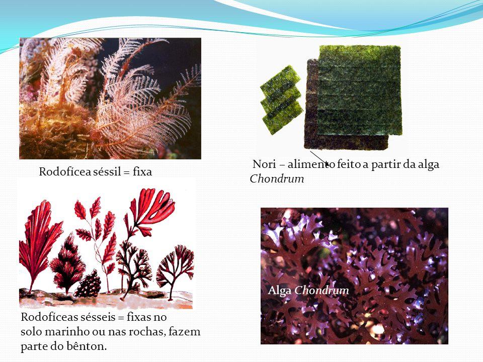 Nori – alimento feito a partir da alga Chondrum Rodofícea séssil = fixa Rodofíceas sésseis = fixas no solo marinho ou nas rochas, fazem parte do bênton.