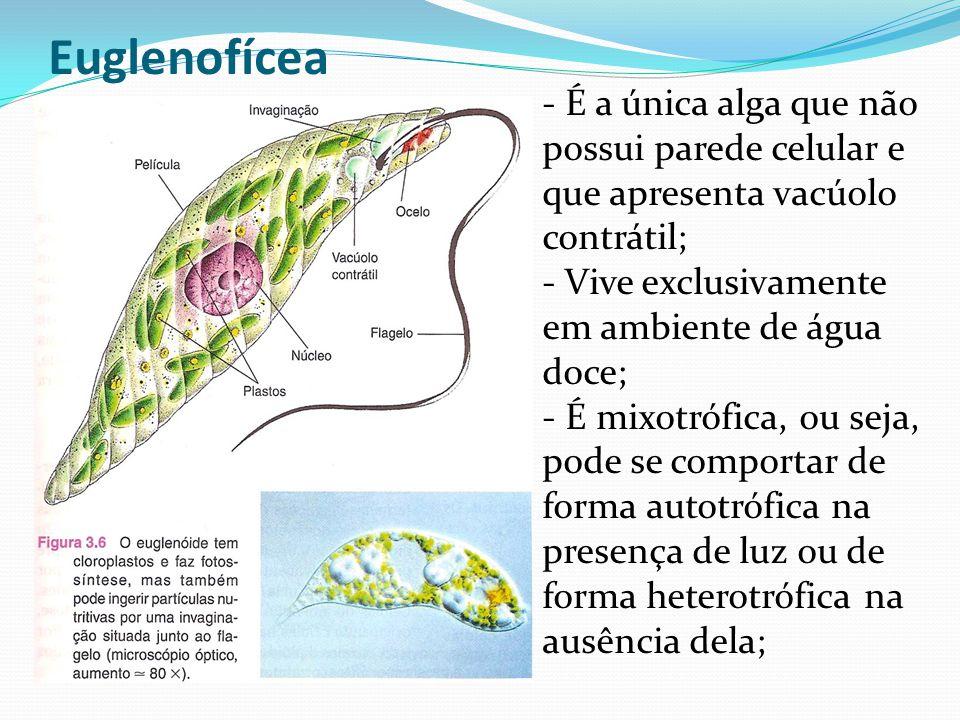 Euglenofícea - É a única alga que não possui parede celular e que apresenta vacúolo contrátil; - Vive exclusivamente em ambiente de água doce; - É mixotrófica, ou seja, pode se comportar de forma autotrófica na presença de luz ou de forma heterotrófica na ausência dela;