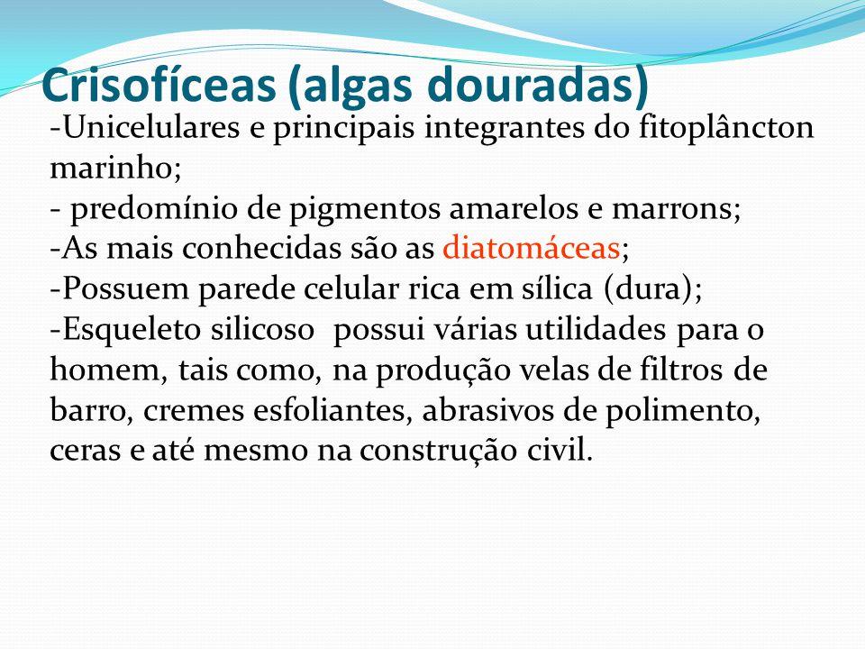 Crisofíceas (algas douradas) -Unicelulares e principais integrantes do fitoplâncton marinho; - predomínio de pigmentos amarelos e marrons; -As mais conhecidas são as diatomáceas; -Possuem parede celular rica em sílica (dura); -Esqueleto silicoso possui várias utilidades para o homem, tais como, na produção velas de filtros de barro, cremes esfoliantes, abrasivos de polimento, ceras e até mesmo na construção civil.