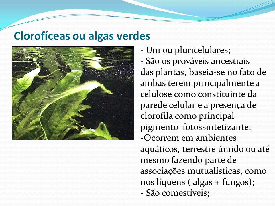 Clorofíceas ou algas verdes - Uni ou pluricelulares; - São os prováveis ancestrais das plantas, baseia-se no fato de ambas terem principalmente a celulose como constituinte da parede celular e a presença de clorofila como principal pigmento fotossintetizante; -Ocorrem em ambientes aquáticos, terrestre úmido ou até mesmo fazendo parte de associações mutualísticas, como nos líquens ( algas + fungos); - São comestíveis;