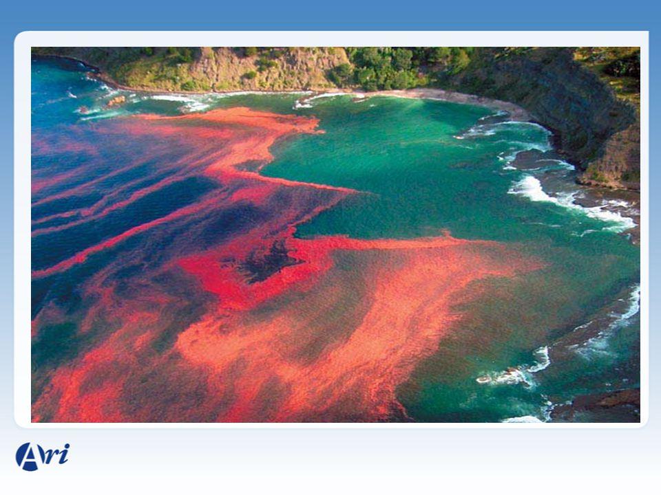 Algas - Dinoflagelados Microalgas – marinhas unicelulares. São um dos integrantes mais abundantes do fitoplâncton. Grande produtor de oxigênio. Possue