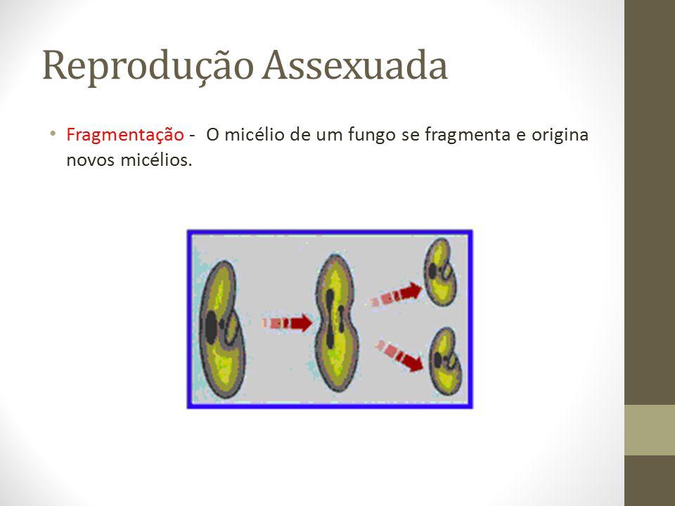 Reprodução Assexuada Fragmentação - O micélio de um fungo se fragmenta e origina novos micélios.