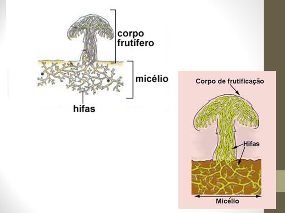Micorrizas Sabemos que muitos cogumelos crescem perto de plantas.