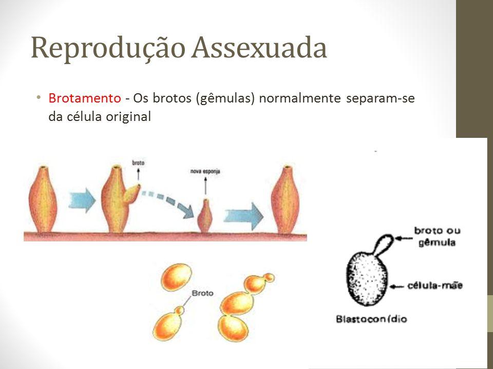 Reprodução Assexuada Brotamento - Os brotos (gêmulas) normalmente separam-se da célula original