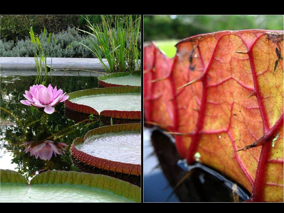 A planta é armada por todas partes, exceto na superficie, com espinhos, que as protegem de predadores.