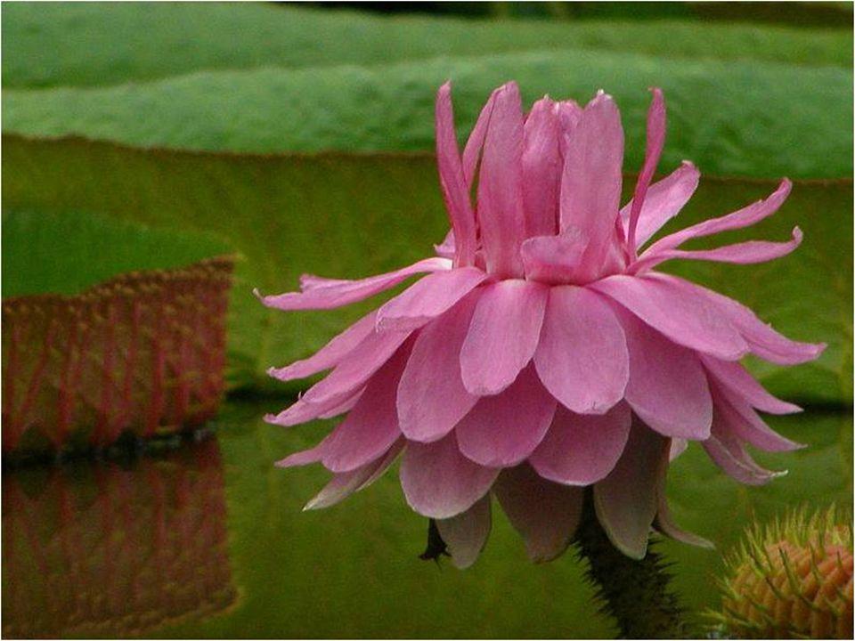 No segundo dia, o da polinização, a flor é cor de rosa. Assim que as flores se abrem, seu forte odor atrai os besouros polinizadores (cyclocefalo cast